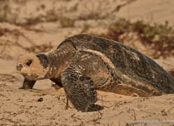 turtle-1785-galapagos-copyright-photographers-on-safari-com