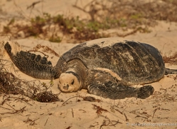 turtle-1786-galapagos-copyright-photographers-on-safari-com