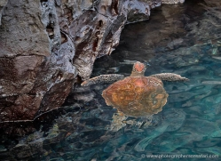 turtle-1788-galapagos-copyright-photographers-on-safari-com