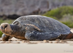 turtle-1790-galapagos-copyright-photographers-on-safari-com