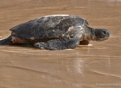 turtle-1791-galapagos-copyright-photographers-on-safari-com