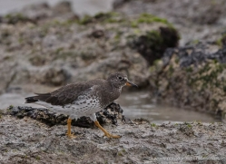wandering-tattler-1890-galapagos-copyright-photographers-on-safari-com
