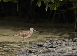 whimbrel-1891-galapagos-copyright-photographers-on-safari-com