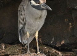 yellow-crowned-night-heron-1879-galapagos-copyright-photographers-on-safari-com