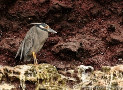 yellow-crowned-night-heron-1880-galapagos-copyright-photographers-on-safari-com