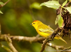 yellow-warbler-1895-galapagos-copyright-photographers-on-safari-com