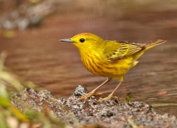 yellow-warbler-1896-galapagos-copyright-photographers-on-safari-com