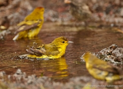 yellow-warbler-1897-galapagos-copyright-photographers-on-safari-com