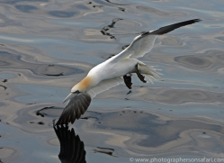 gannet-bass-rock355copyright-photographers-on-safari-com