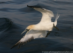 gannet-bass-rock362copyright-photographers-on-safari-com