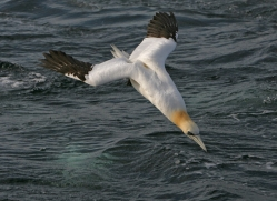 gannet-bass-rock365copyright-photographers-on-safari-com
