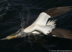 gannet-bass-rock397copyright-photographers-on-safari-com