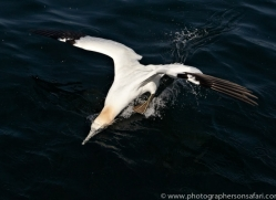 gannet-bass-rock402copyright-photographers-on-safari-com