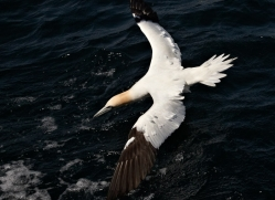 gannet-bass-rock406copyright-photographers-on-safari-com