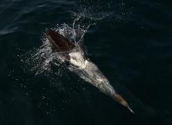 gannet-bass-rock411copyright-photographers-on-safari-com
