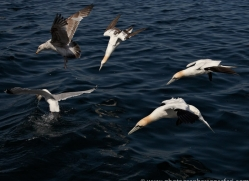 gannet-bass-rock413copyright-photographers-on-safari-com