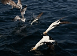 gannet-bass-rock414copyright-photographers-on-safari-com