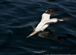 gannet-bass-rock415copyright-photographers-on-safari-com