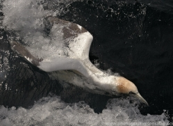 gannet-bass-rock455copyright-photographers-on-safari-com
