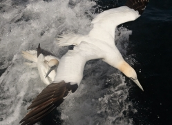gannet-bass-rock470copyright-photographers-on-safari-com