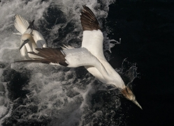 gannet-bass-rock471copyright-photographers-on-safari-com