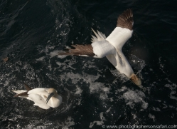 gannet-bass-rock473copyright-photographers-on-safari-com