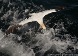 gannet-bass-rock475copyright-photographers-on-safari-com