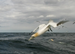 gannet-bass-rock491copyright-photographers-on-safari-com
