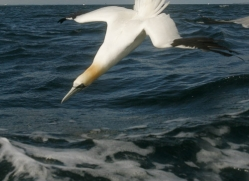 gannet-bass-rock492copyright-photographers-on-safari-com