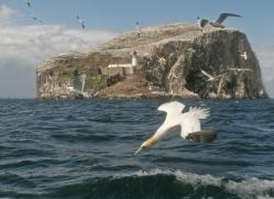 gannet-bass-rock495copyright-photographers-on-safari-com