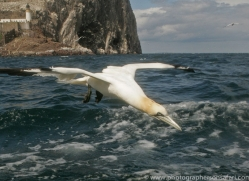 gannet-bass-rock498copyright-photographers-on-safari-com
