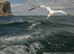 gannet-bass-rock506copyright-photographers-on-safari-com