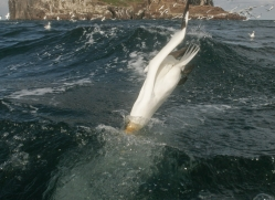 gannet-bass-rock513copyright-photographers-on-safari-com