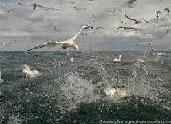 gannet-bass-rock516copyright-photographers-on-safari-com