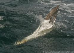 gannet-bass-rock518copyright-photographers-on-safari-com