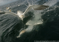gannet-bass-rock523copyright-photographers-on-safari-com