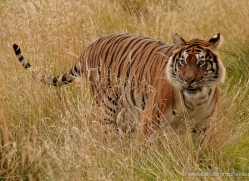 bangal-tiger-2552-hamerton-copyright-photographers-on-safari-com