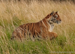 bangal-tiger-2554-hamerton-copyright-photographers-on-safari-com