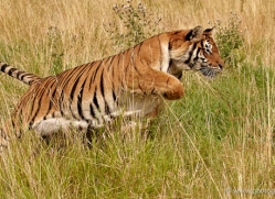 bangal-tiger-2557-hamerton-copyright-photographers-on-safari-com