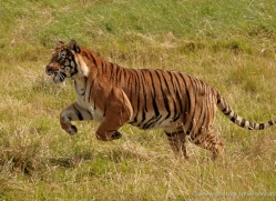 bangal-tiger-2558-hamerton-copyright-photographers-on-safari-com