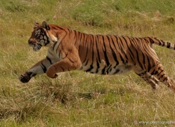 bangal-tiger-2559-hamerton-copyright-photographers-on-safari-com
