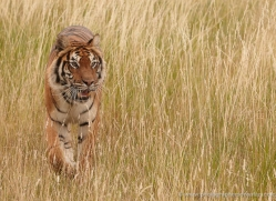 bangal-tiger-2563-hamerton-copyright-photographers-on-safari-com