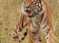 bangal-tiger-2564-hamerton-copyright-photographers-on-safari-com