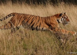 bangal-tiger-2565-hamerton-copyright-photographers-on-safari-com