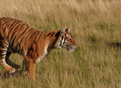 bangal-tiger-2567-hamerton-copyright-photographers-on-safari-com