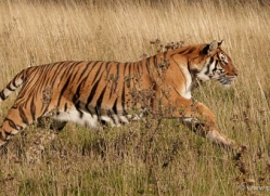 bangal-tiger-2570-hamerton-copyright-photographers-on-safari-com