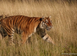bangal-tiger-2571-hamerton-copyright-photographers-on-safari-com