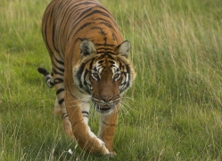 bangal-tiger-2574-hamerton-copyright-photographers-on-safari-com