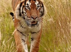 bangal-tiger-2555-hamerton-copyright-photographers-on-safari-com