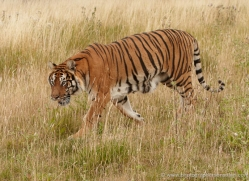 bangal-tiger-2560-hamerton-copyright-photographers-on-safari-com
